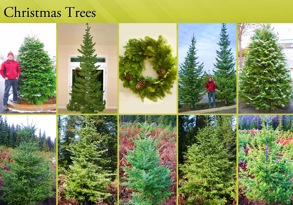 Christams Trees for sale - Spokane Valley